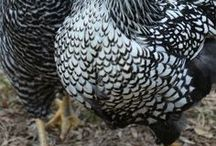 Farm Birds: Poultry Pins / Farm birds of every sort belong here, whether it's chickens, ducks, turkeys, guineas, or quail. Even Big Bird is welcomed with open arms! Oh wait... he's not a farm bird...