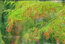 Elegant Japanese Maples