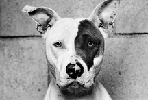 Mostly dogs, and of that, mostly pit bulls / by Lisa Rea
