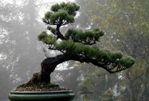 "# BONSAI - collaboration / keywords -> bonsai, japanese culture, ikebana, gerdening, gerden ----------------------------  If You want pin to this board, first, follow me, Please comment ""@showboo - invite me"" to my pin or my repin on this board. / by showBOO K"