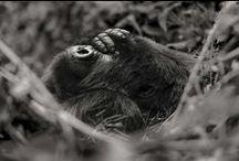 Gorilles de montagne / Silverback / Le gorille fait partie de ces espèces menacées d'extinction à court terme si des mesures de protection exceptionnelles ne sont pas prises de toute urgence.  Gorillas are amongst those species threatened with extinction in the short term if exceptional protection measures are not put in place as a matter of utmost urgency.