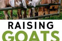 Livestock and Pets /  Livestock care, pets, milk cows, chickens, goats, quail, butchering, farm fresh eggs, small farm, homesteading, self reliance, and more!