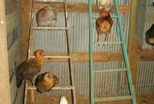 Chickens / Helpful tips for raising chickens