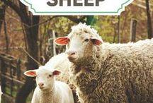 Sheep / Information and tips for raising sheep.