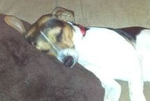 Jack-a-Bee / A WHAT?!  A Jack-a-Bee!  A Jack Russell and Beagle mix!  This is what our Percy is! Sure glad he rescued us!!