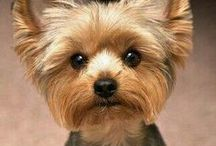 Yorkie Fan Club / Yorkies are so easy to love. They are just precious, sweet and very cute.