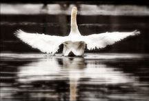 My Art: Swans / A collection of fine art photography depicting swans as captured along the Charles River and Crystal Lake in Boston, Massachusetts.