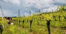 Au vignoble / Découvrez notre vignoble au coeur de l'Alsace, les travaux dans les vignes, l'élaboration du vin en cave, rencontrez les vignerons.  Discover our vineyard in the heart of Alsace, the work, making wine in our estate, meet the winermakers