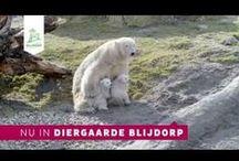 IJsbeertweeling, dec. 2014 - polar bear twins - Dec. 2014 / Op dinsdag 2 december 2014 is er een ijsbeertweeling geboren. Moeder Olinka en de kleintjes verblijven nu in de kraamgrot achter de schermen. Volg ze via webcams: http://www.diergaardeblijdorp.nl/ijsbeer/ijsbeercams/  On December 2nd, 2014 polar bear twins were born in Rotterdam Zoo, take a peek in the nursery via our webcam: http://www.diergaardeblijdorp.nl/english/polarbears/
