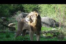 Nieuw leeuwenreservaat zomer 2015 / Zomer 2015 opent het nieuwe leeuwenreservaat in Diergaarde Blijdorp.   Summer 2015 new lion habitat in Roterdam Zoo