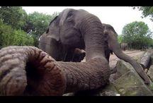 Olifantje augustus 2015 - Elephant baby August, 2015 / Op 20 augustus werd een olifantje geboren in Diergaarde Blijdorp. Volg hier zijn avonturen. August 20th a baby elephant was born in Rotterdam Zoo.