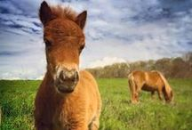 Madison Fields Miniature Horses / We have 12 miniature horses at Madison Fields Farm! Prepare for cuteness overload.