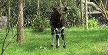 Okapietje Gerrit  (mei 2017) - okapi Gerrit (born May 2017) / Op 13 mei 2017 werd er een okapi geboren, een hengstje. We hebben hem Gerrit genoemd, uit eerbetoon aan de eerste okapiverzorger in Blijdorp. Blijdorp kent een lange historie met okapi's. In 1957 kwamen de eerste dieren naar Rotterdam. Toen was er nog niet veel bekend over deze mysterieuze diersoort. Blijdorp heeft vanaf het begin veel succes gehad met de voortplanting. Het is extra bijzonder dat er in het 160e jubileumjaar van de Diergaarde weer een okapi geboren is.