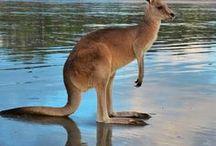 Australian Animals - Where to Find Them / Australian Animals. Where to find and interact with Australian wildlife!