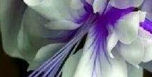 - Plants - Fuchsias - Fuksje / Gatunki fuksji