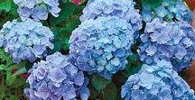 - Plants - Hydragenas - Hortensje / Fotografie