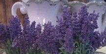 - Plants - Lavender