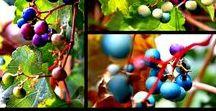 - Plants - Ampelopsis glandulosa - winnik zmienny 'elegants'