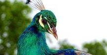 - Animals - Birds - Peacock / Peacock - paw, pawie pióra w roli głównej