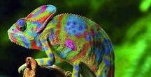 - Animals - Gady Reptilia: Kameleony (Chamaeleonidae); Jaszczurki (Lacerta )..