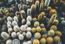Kaktusomania