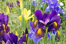 Irises / by Leona Eunice Gentry