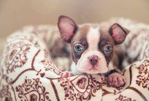 Boston Terriers / Boston Terriers