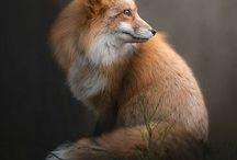 Renards-Fox