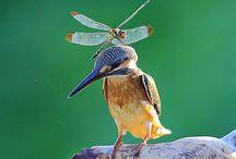 Libelulle-Dragonfly