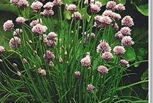 Chives, Growing & Preserving