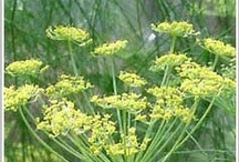Fennel, Growing & Preserving