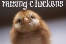 Chickens! / Tips and information about raising chickens. / by Andrea Hatfield