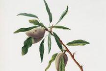 Ilustración botánica / Dibujar la naturaleza