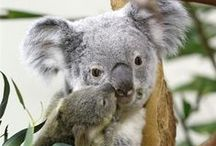 Photos: Koalas / Koalas aren't bears, they aren't even related to bears. The koala is related to the kangaroo and the wombat. Koalas live in eastern Australia, where the eucalyptus trees they love are most plentiful.