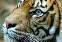 Photos: Tigers / Amazing wildlife - Tigers photos. Malayan tiger, White bengal tiger, Sumatran tiger, Siberian tiger