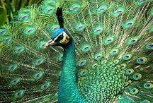 Photos: Peacock / Piebald Peacock,  India Blue Pied Peacock,