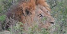 Z Jižní Afriky / Safari po Jižní Africe z Kapského města až do Johannesburku přes národní parky plné zvěře. Postupně bude doplněno dalšími fotografiemi.