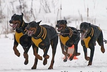 Dob Dob Doberman Pincher ❤️❤️❤️❤️ / You think dogs will not be in heaven?  I tell you, they will be there long before any of us (Robert Louis Stevenson). / by Tone Andreassen