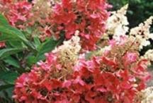 Floral~Romantic Hydrageneas