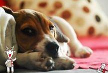 Beagle / Beagle a sweet dog good that fills the life of emotions Nala is my beagle