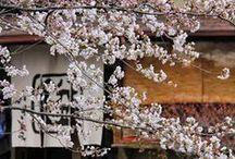Zenbu Haru. Kyoto Spring Tour April 2014