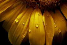 Sunny Sunflowers / Sunflowers...the happy flower! / by Patty Dahl