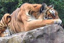 Fauves / Fauve Félin Tigre Lion Panthère Tiger
