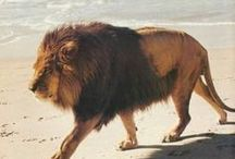 king of the jungle || LION