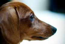 DOXIE LOVE / Our love for the Dachshund breed. / by Annette Biering