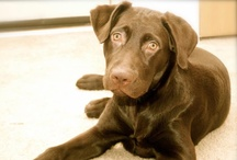 Zoey-Our Choc Lab / by Cherrell Parris