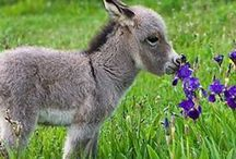 Baby donkeys and Mini ponies