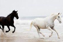 horses / Breeds: Arabian, Andalusian, Friesian, Spanish Mustangs, Palomino, Paso Fino, Peruvian, Ranger, Rocky Mountain.