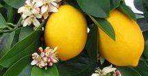 Fruit Trees in Australia / It's all about growing fruit trees: how to fertilise and prune them.