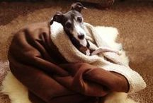 Sighthounds / Greyhounds, Whippets, and Italian Greyhounds, what is there not to love?